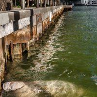 Manatee in Miami River Downtown MIami